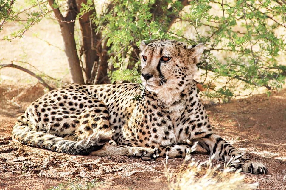 Cheetah, Africa, Namibia, Predator, Nature, Wild Animal
