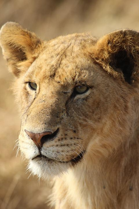 Lion, Wild, Fauna, Africa