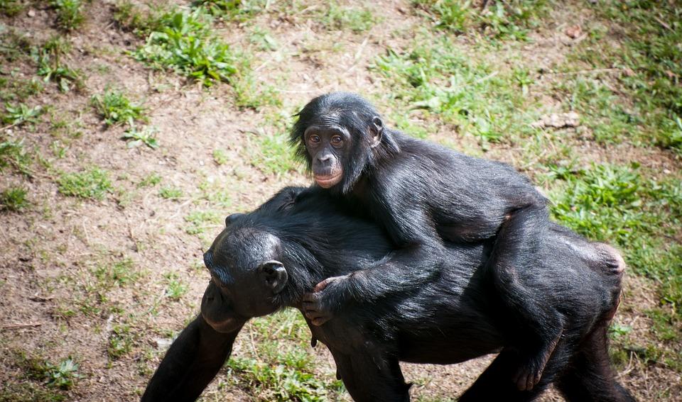 Chimpanzee, Mother, Child, Wildlife, Zoo, Africa, Wild