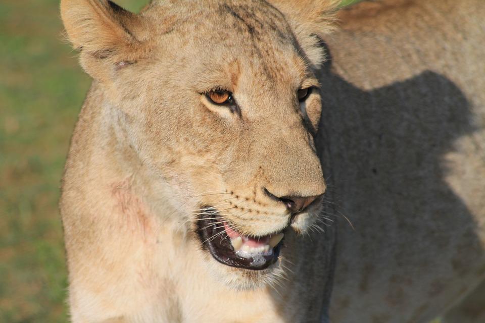 Africa, Wildlife, Lioness