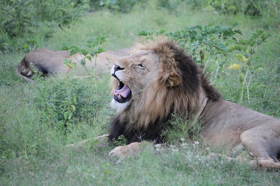 Lion, Yawn, Wildlife, Animal, Predator, Africa, Safari