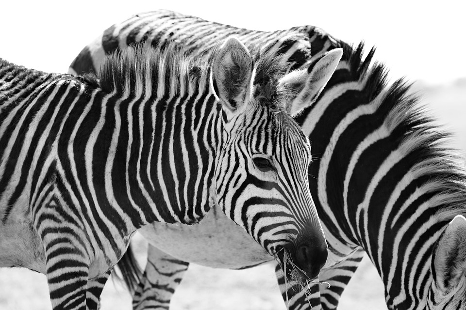 Hartmann's, Zebra, Mountain Zebra, Africa, South Africa