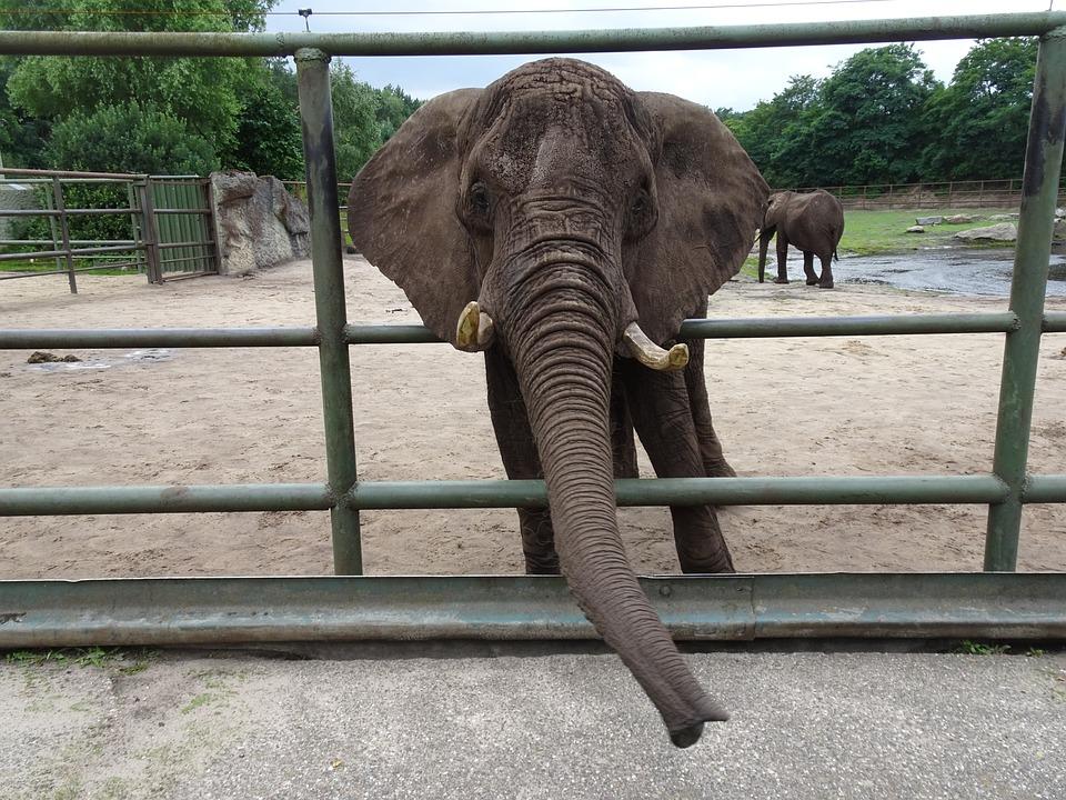 Elephant, Zoo, Captivity, Elephant Boy, Africa
