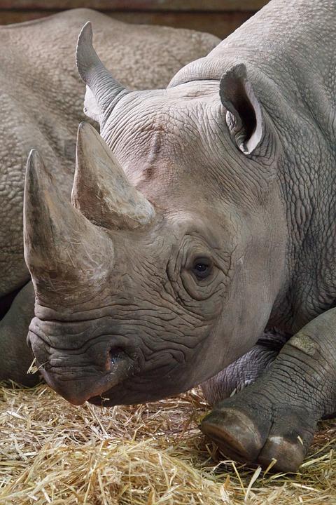 Africa, African, Animal, Black, Dangerous, Endangered