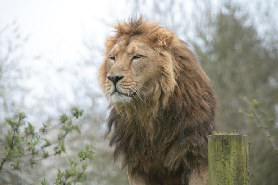 Lion, Wildlife, Big, Animal, African, Cat, Feline