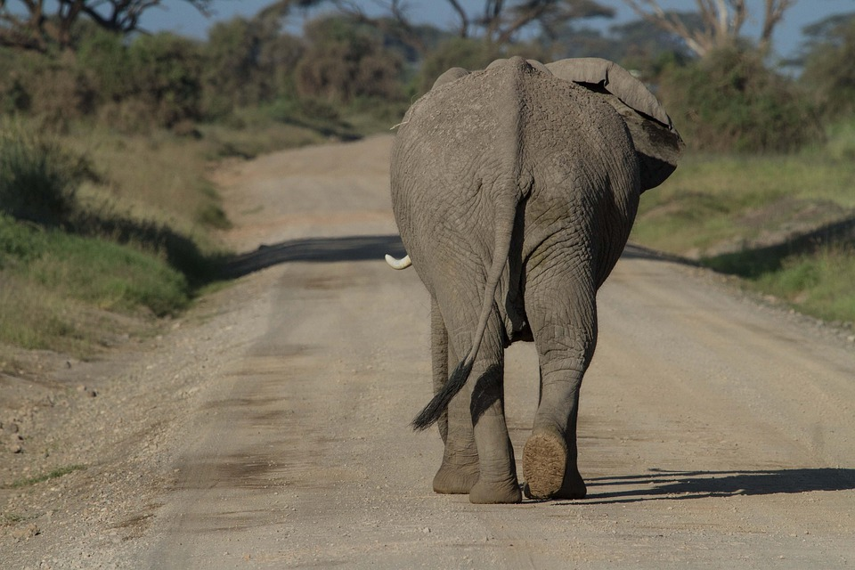 Africa, African Bush Elephant, Amboseli, Big Five