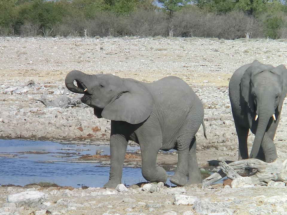 Elephant, Africa, Drink, African Bush Elephant, Nature