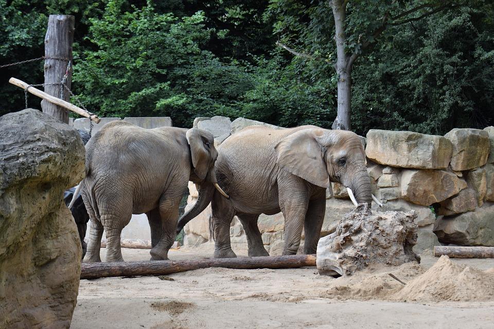 Elephant, Elephant Group, African Bush Elephant, Zoo