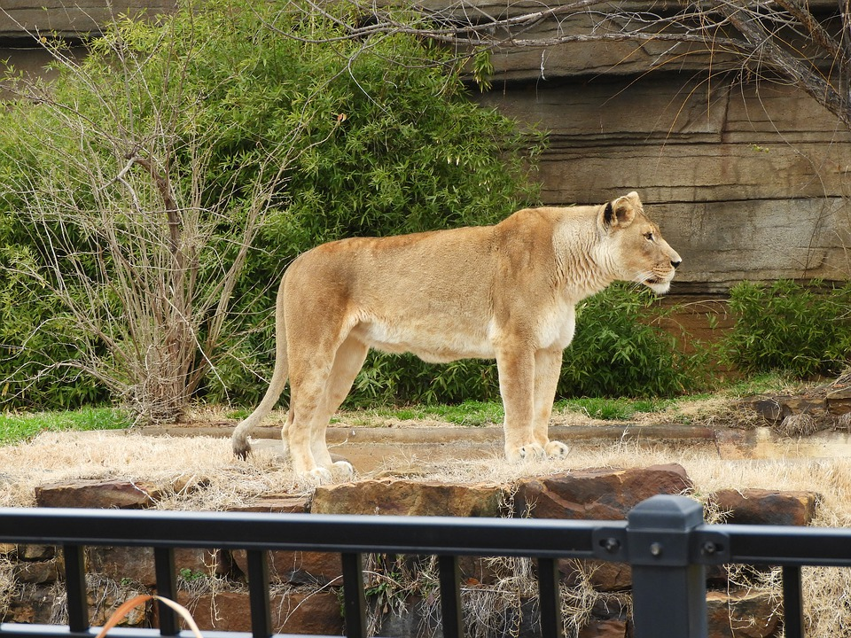 Lioness, Standing, Zoo, Feline, Cat, Female, African