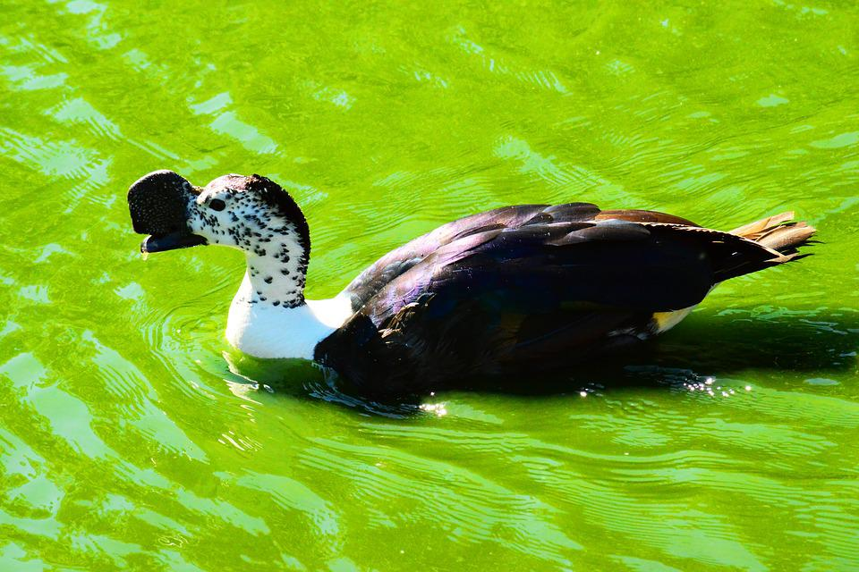 African Comb Duck, Knob-billed Duck, Male
