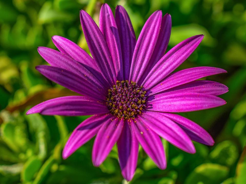 African Daisy, Osteospermum, Flower, Purple, Nature
