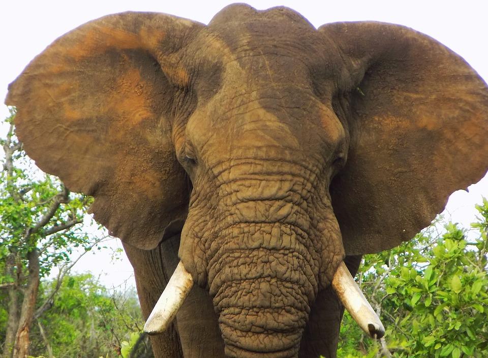 African Elephant, Elephant, Bull Elephant