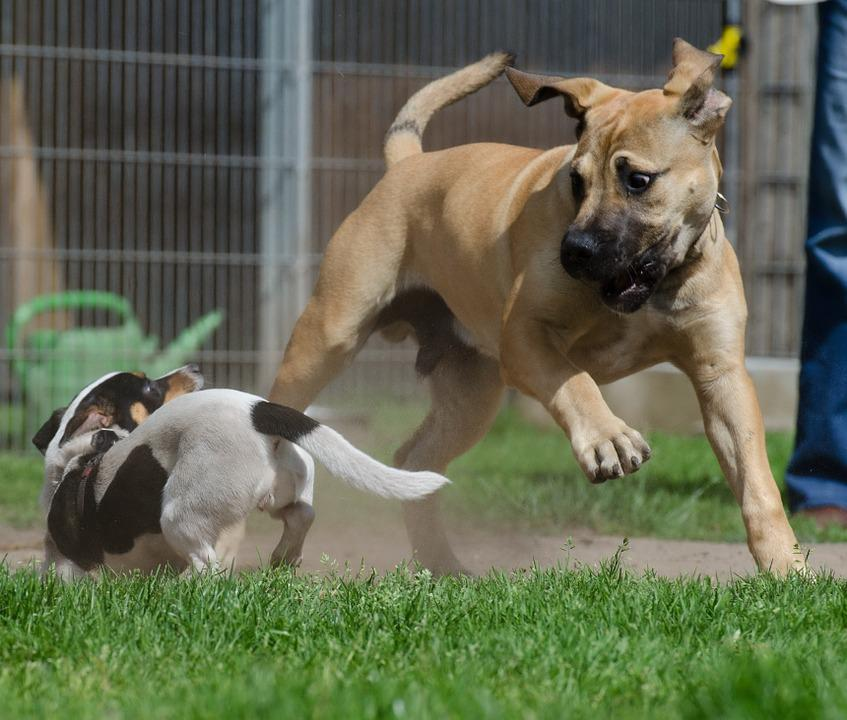 Boerboel, African Farmers Dog, Puppy Group, Puppies
