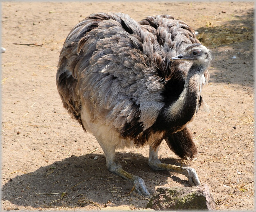 Ostrich, African, Flightless Bird, Struthionidae, Fast