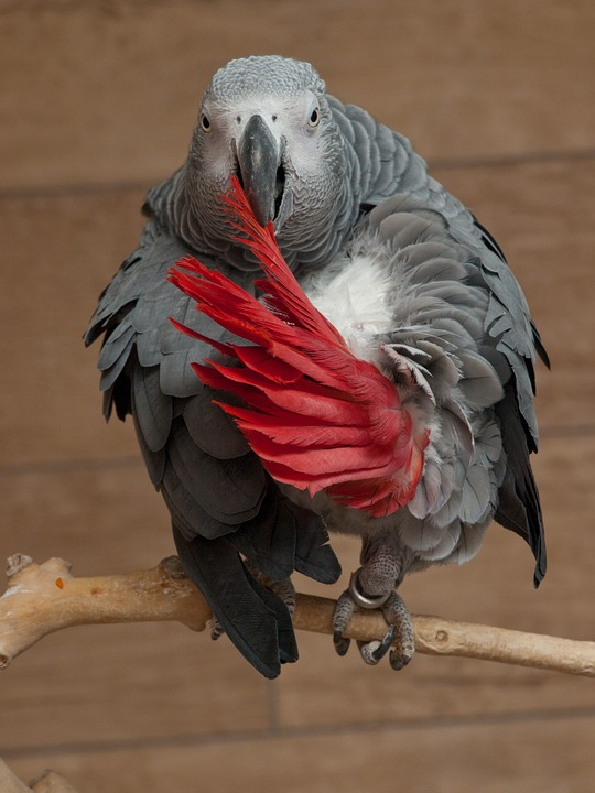 Parrot, Psittacus Erithacus, African Grey Parrot