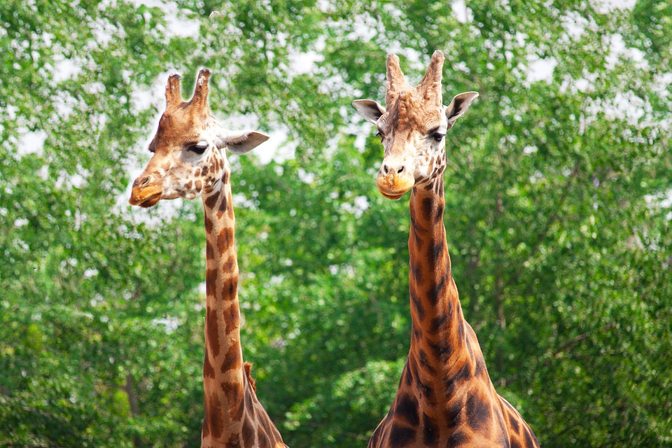 Africa, African, Animal, Couple, Forest, Giraffe, Head