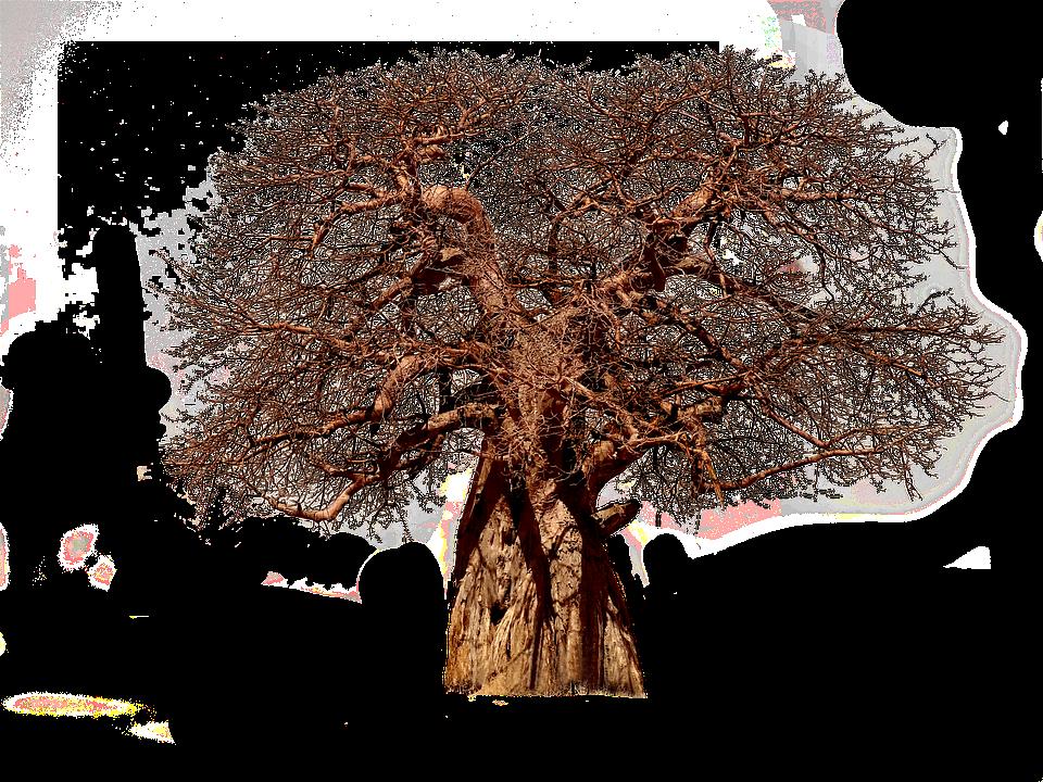 Free Photo African Tree Tribe Aesthetic Adansonia Tree