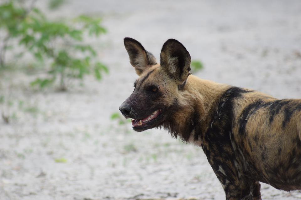 Wild Dog, African Wild Dog, Dog, Africa, Botswana