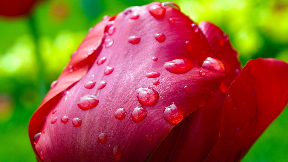 Tulip, After The Rain, Raindrops, Flower