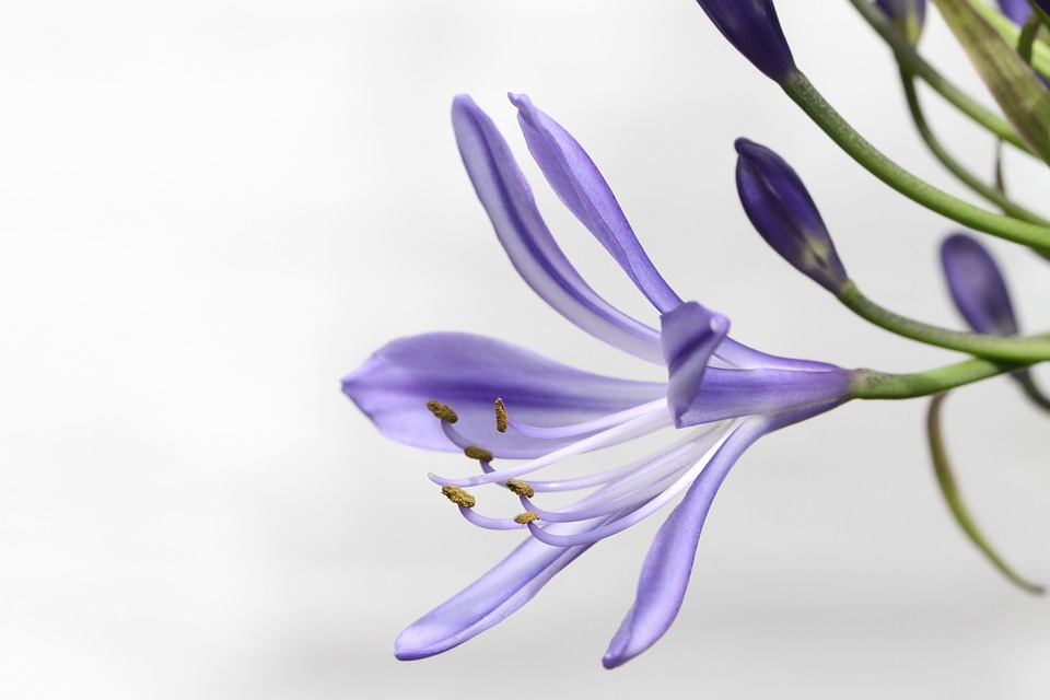 Agapanthus, Agapanthus Africanus, Blossom, Bloom