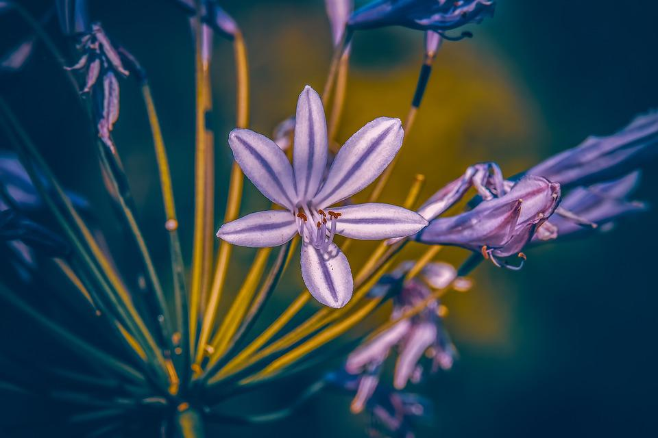 Agapanthus, Lily, Colorful, Plant