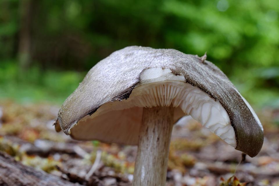 Forest Mushroom, Mushroom, Forest Floor, Agaric, Nature