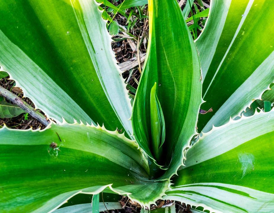 Agave, Agavengewächs, Plant