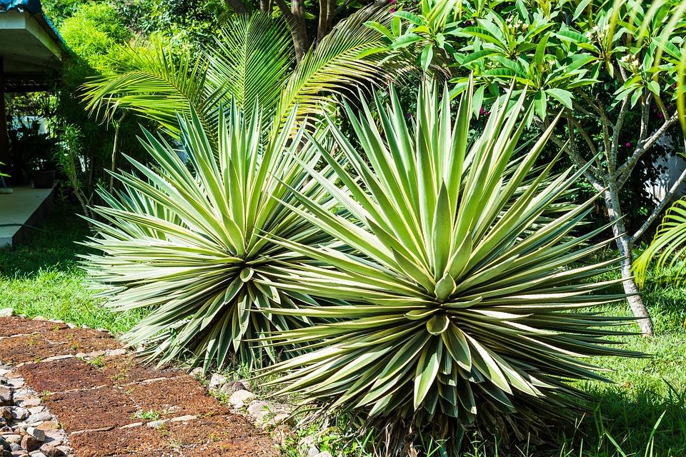 Agave, Agavengewächs, Plant, Prickly