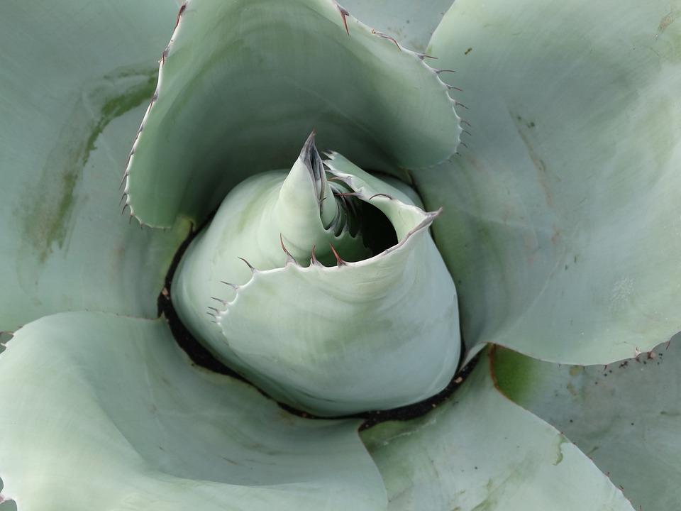 Succulent, Agave, Desert, Green, Mexico