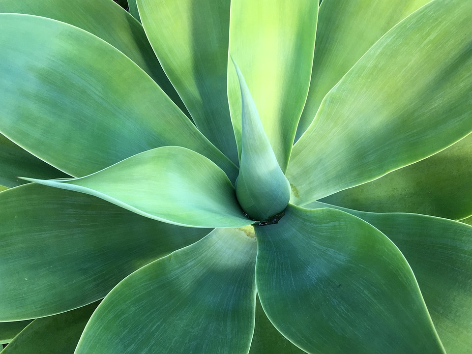 Agave, Green, Plant