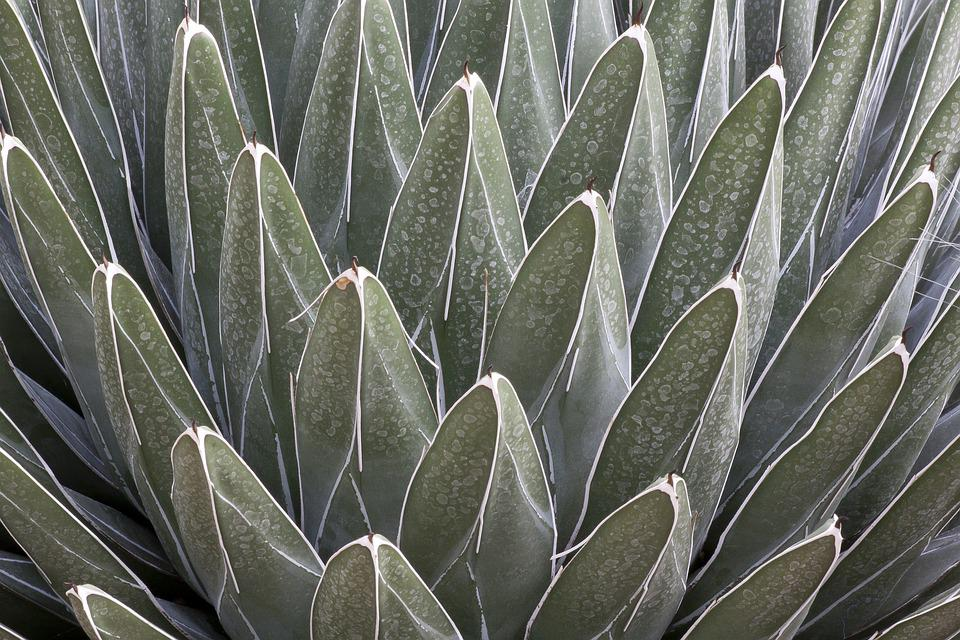 Agave Victoriae-reginae, Cactus, Succulent, Structure