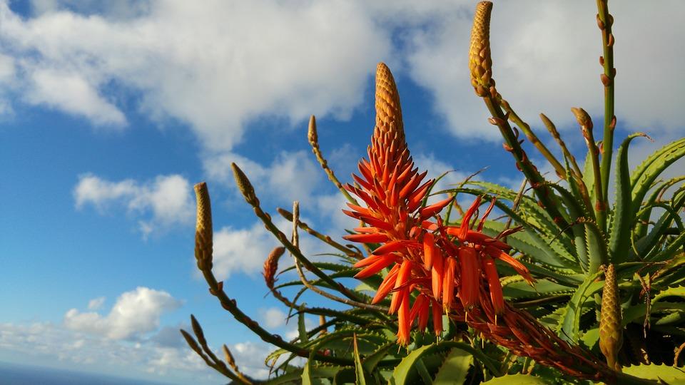 Aloe, Flower, Madeira, Agavengewächs, Red Flower