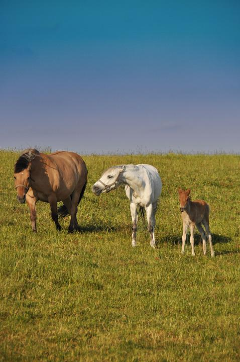 Horses, Family, Offspring, Nature, Aggression