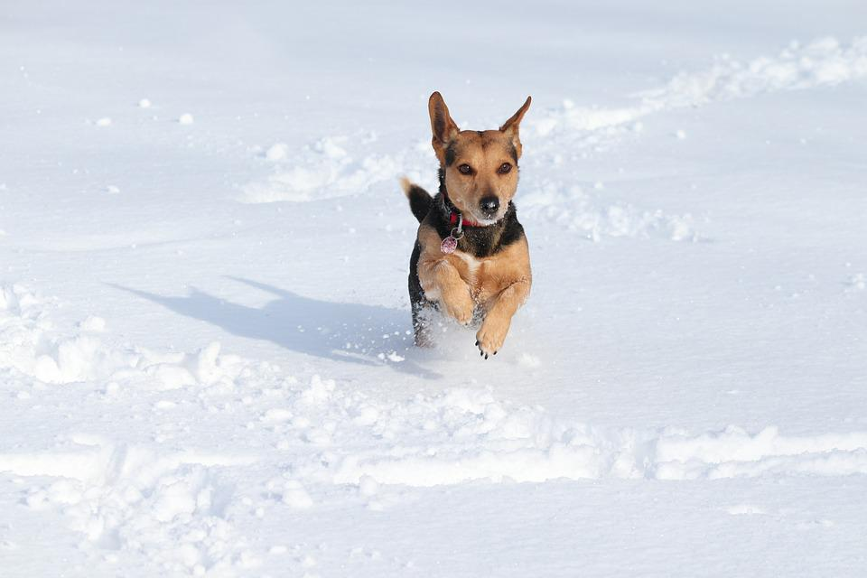 Dog, Snow, Race, Play, Agile, Fun, Winter, Animal World