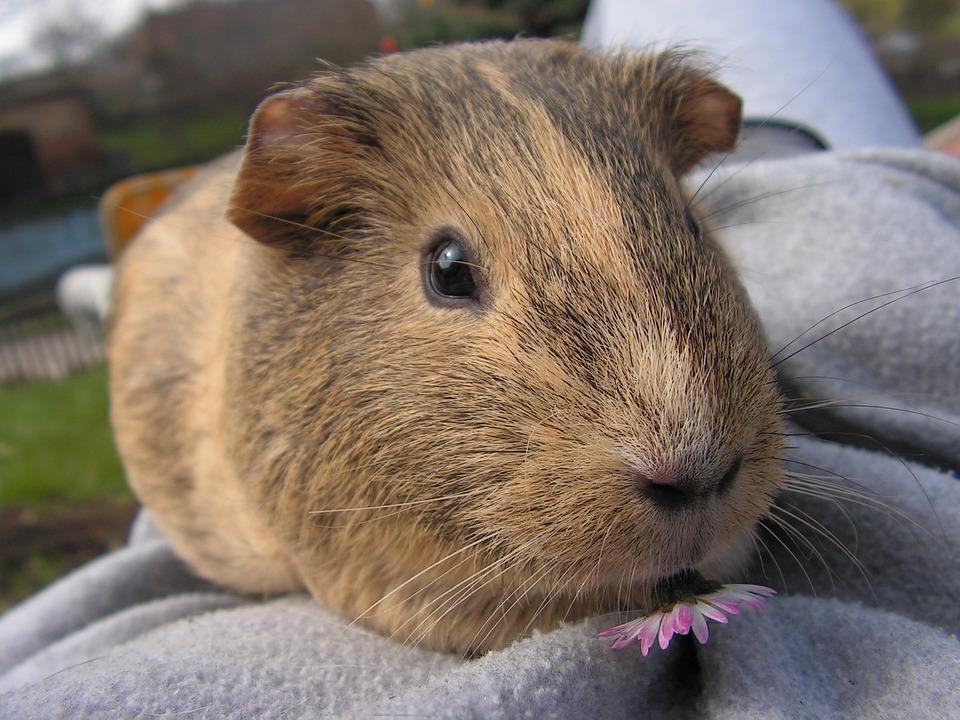 Guinea-pig, Female, Agouti, Portrait, Mammal