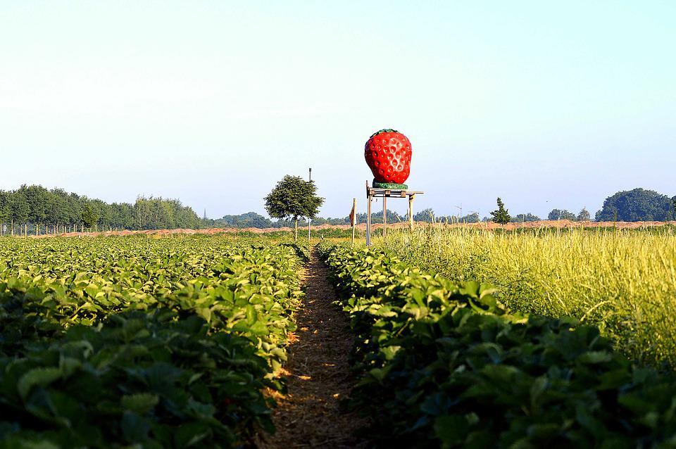 Strawberry Field, Arable, Agricultural, Fruit
