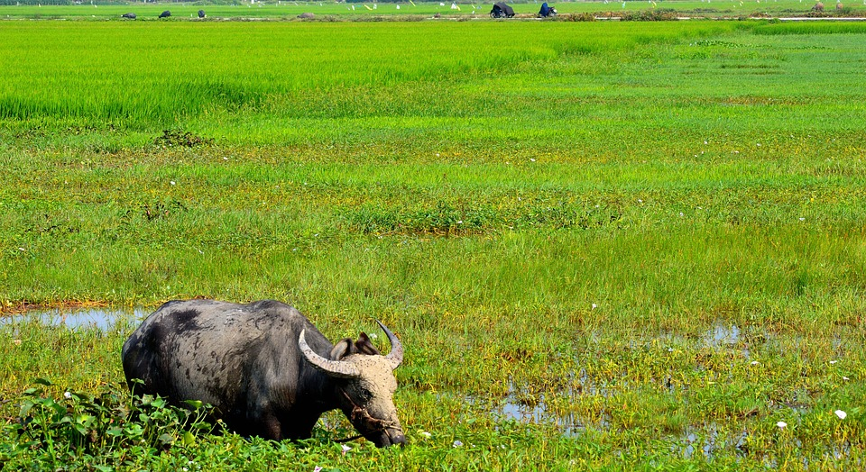 Water, Buffalo, Vietnam, Nature, Animal, Agriculture