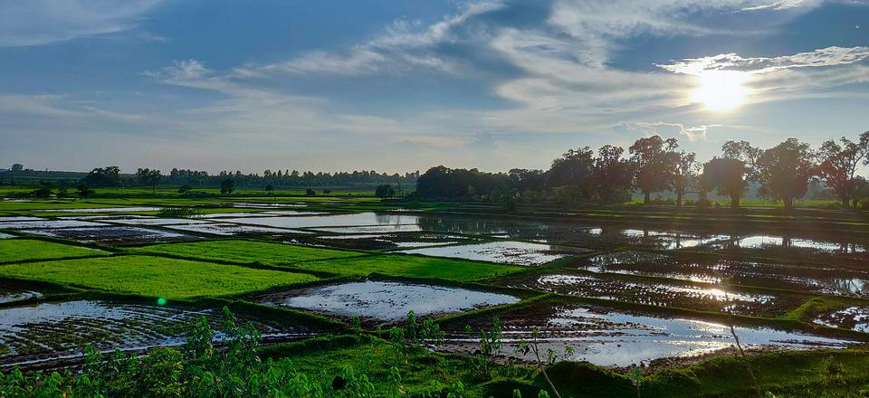 Rice, Nature, Farm, Asia, Agriculture, Green