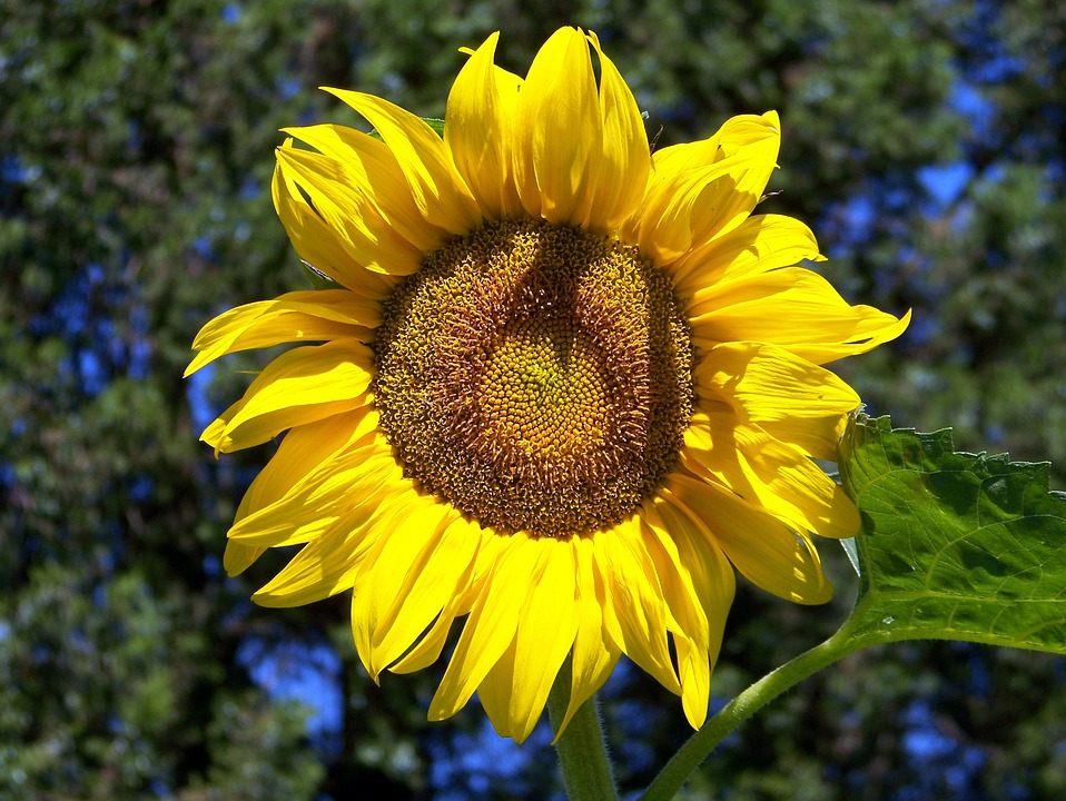 Sunflower, Summer, Plant, Floral, Agriculture, Blooming