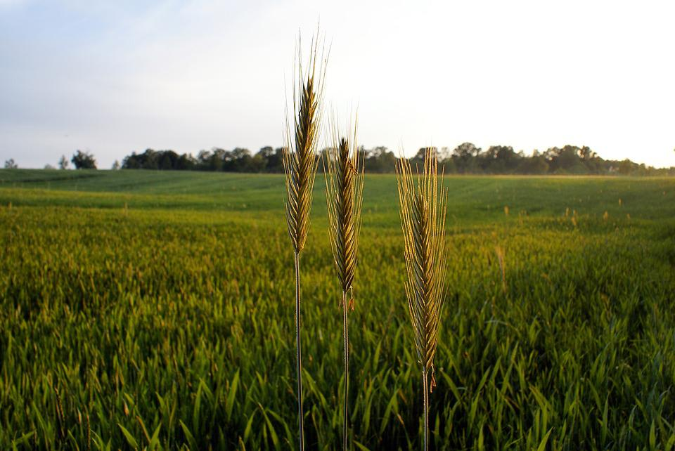 Cereals, Agriculture, Fields, The Cultivation Of