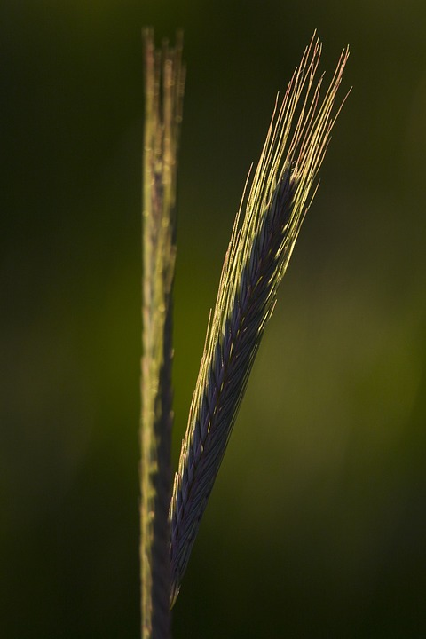 Nature, Cereals, Agriculture, Green, Rye, Barley, Wheat