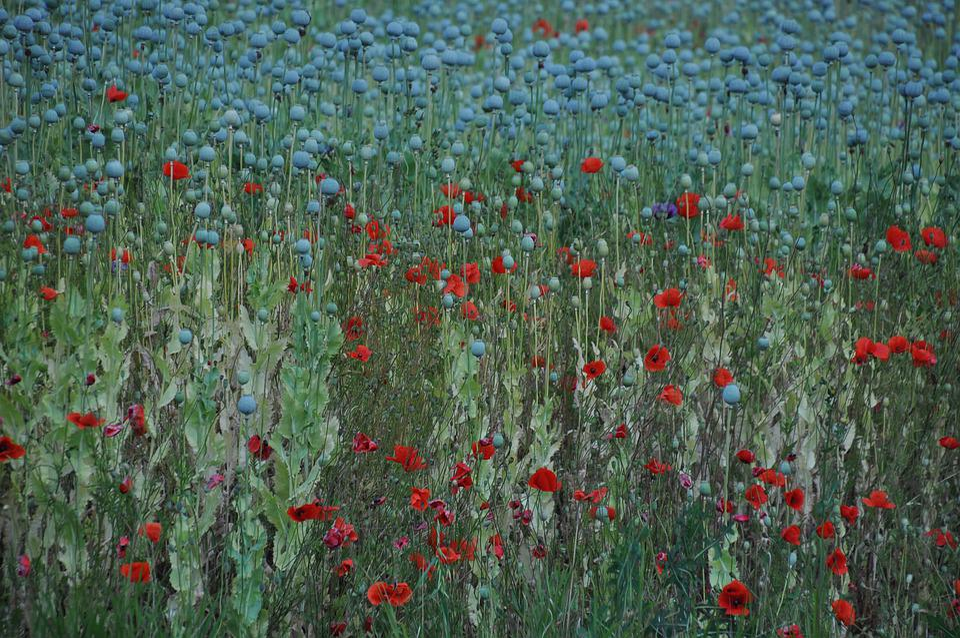 Summer Plants, Plant, Poppy, Agriculture, Color, Nature
