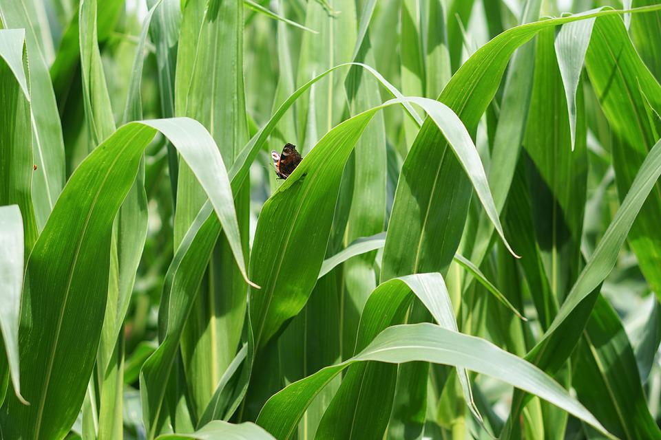 Cornfield, Corn, Corn Cultivation, Agriculture, Field