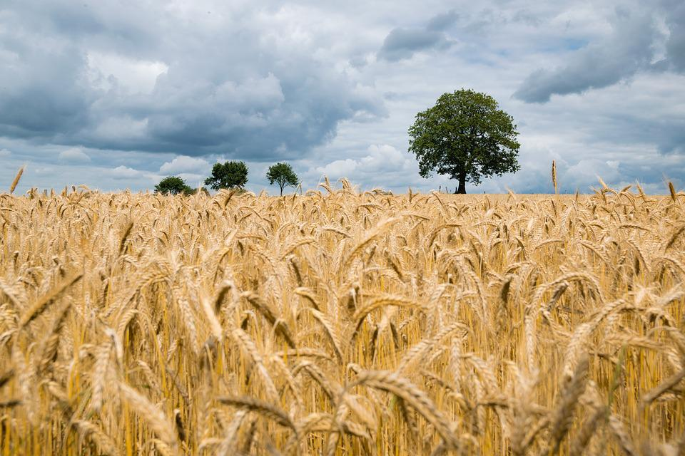 Agriculture, Barley, Cereal, Clouds, Corn, Countryside