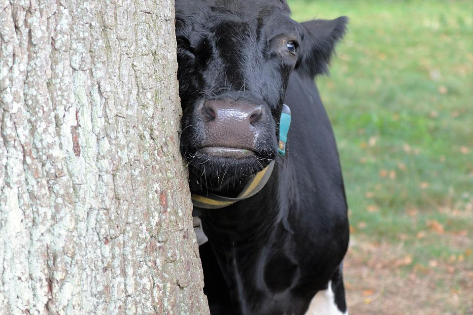 Cow, Milk, Farm, Animal, Dairy, Cattle, Agriculture