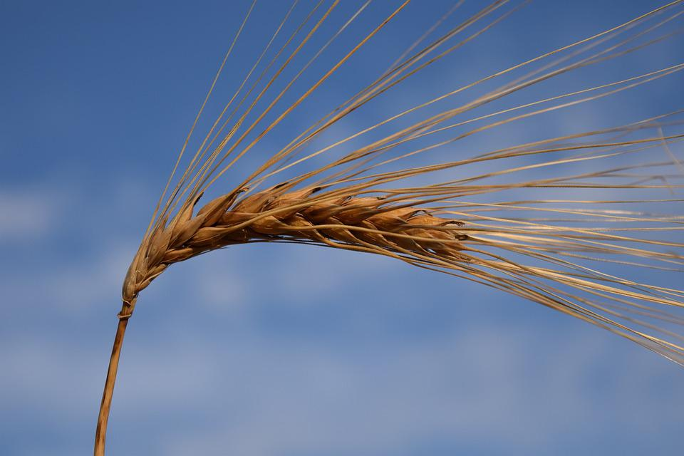 Barley, Ear, Cereals, Nature, Grain, Agriculture