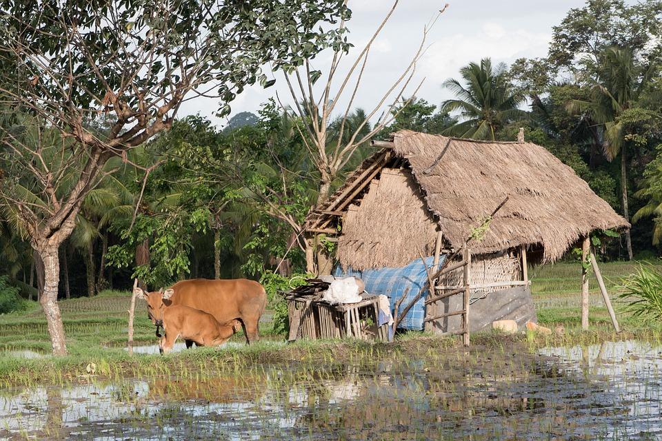Farm, Farmland, Rice, Countryside, Rural, Agriculture