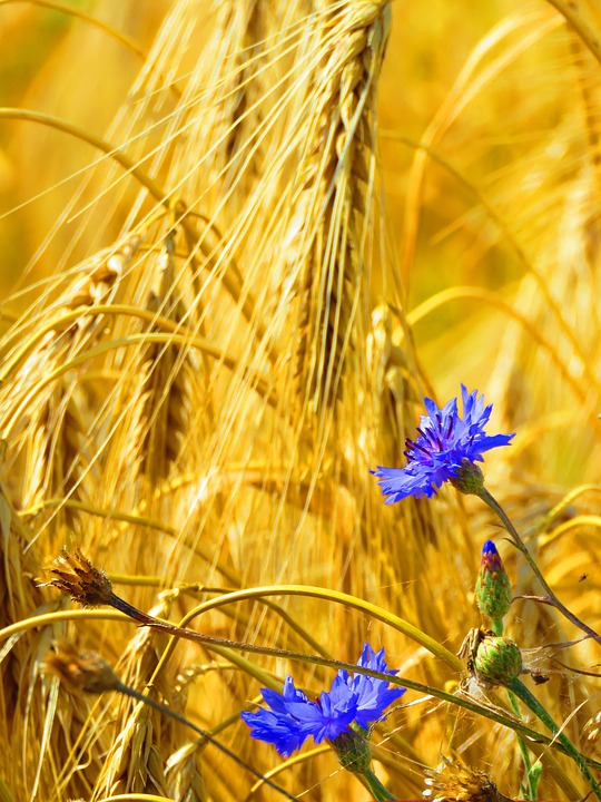 Cornflowers, Spike, Field, Cereals, Agriculture