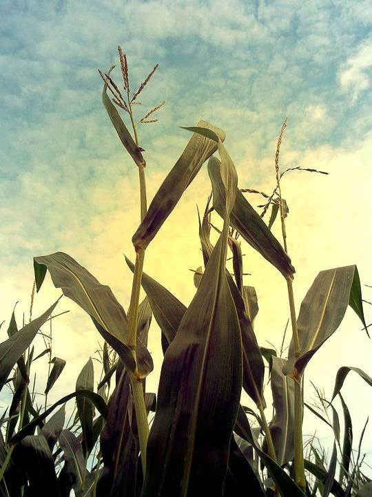 Corn, Cornfield, Cultivation, Agriculture, Field