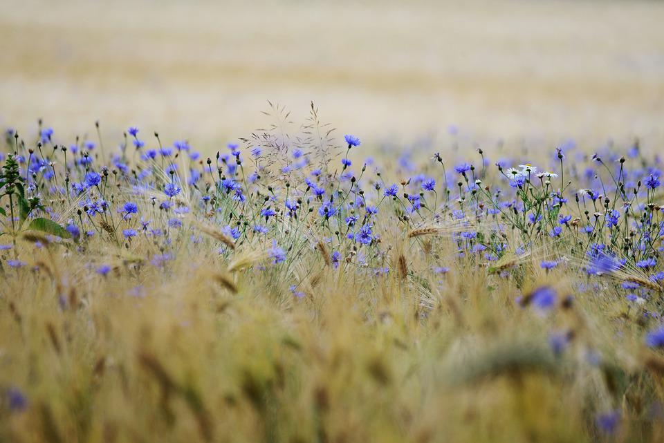 Cereals, Cornflowers, Cornfield, Field, Agriculture